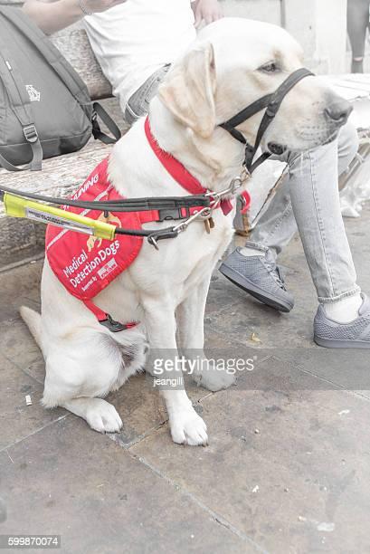 medical detection service dog - servicehund stock-fotos und bilder