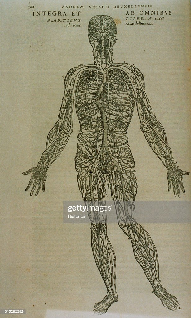 A Medical Diagram Illustrates The Vascular System Of The Human Body