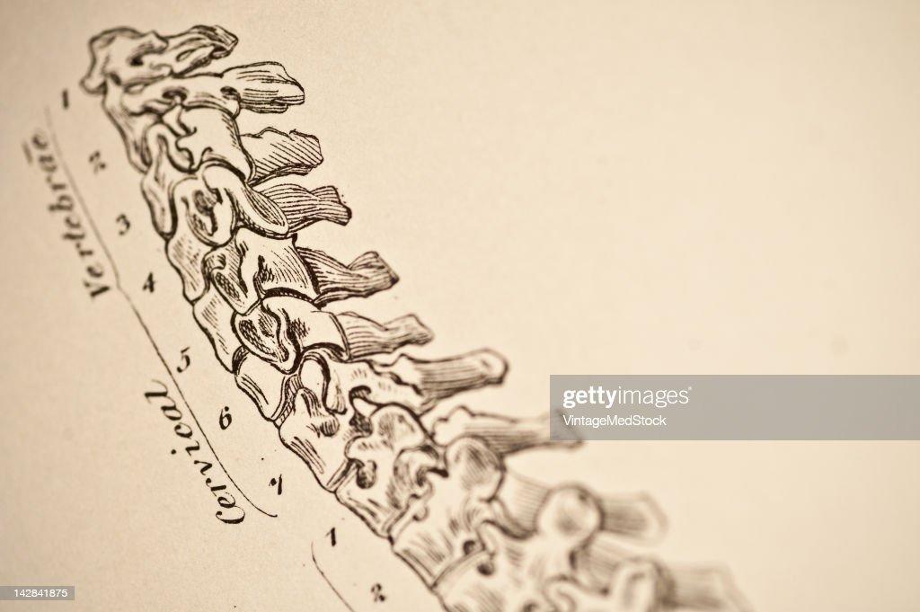 Cervical Vertebrae Pictures Getty Images