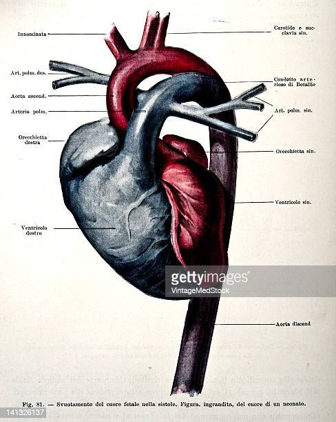 A medical drawing from 'Trattato Completo di Ostetricia' illustrates the human fetus heart 1905