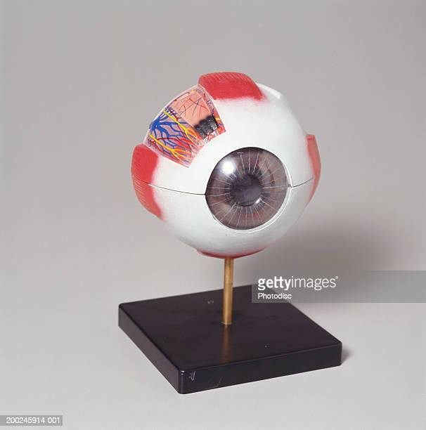 medical eye model - anatomical model stock pictures, royalty-free photos & images
