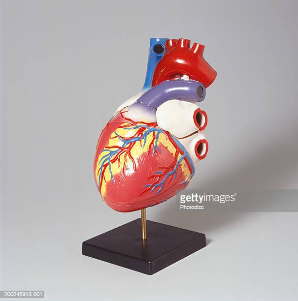 medical heart model - anatomical model stock pictures, royalty-free photos & images
