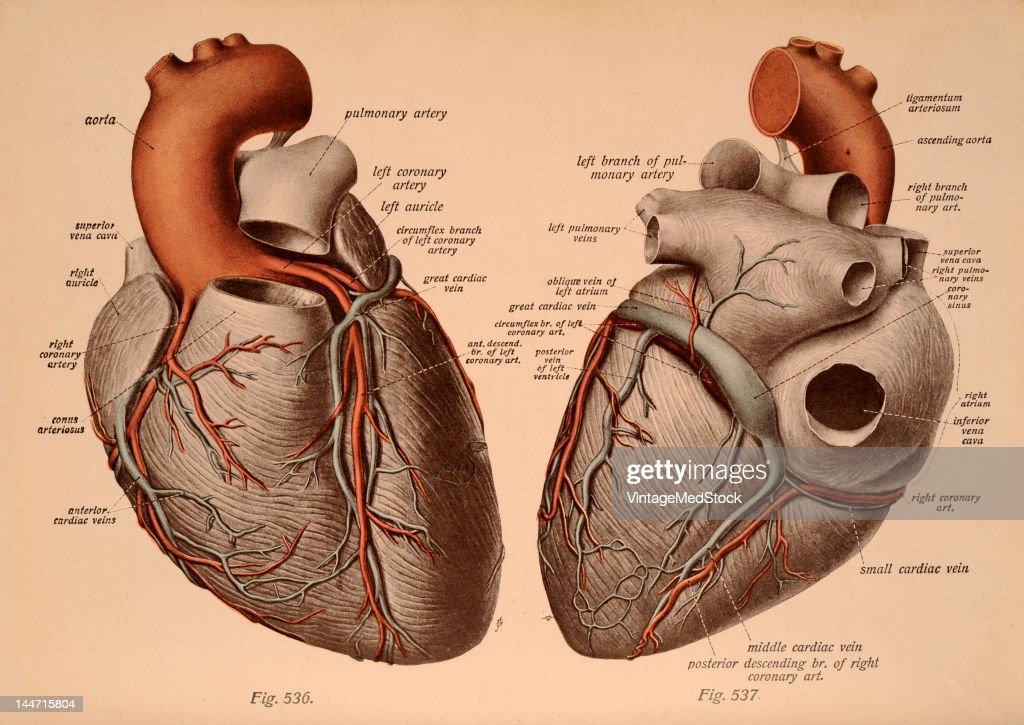 A medical illustration from \'Atlas and Text-book of Human Anatomy ...