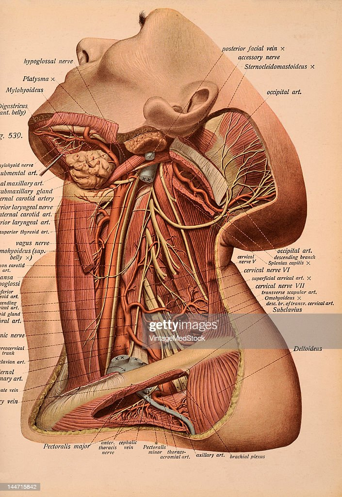 Nerves & Arteries Of The Neck Pictures | Getty Images