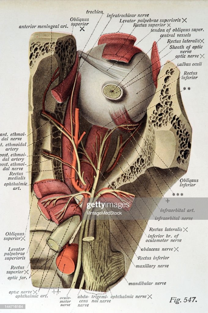 The Nerves & Arteries Of The Orbit Pictures   Getty Images