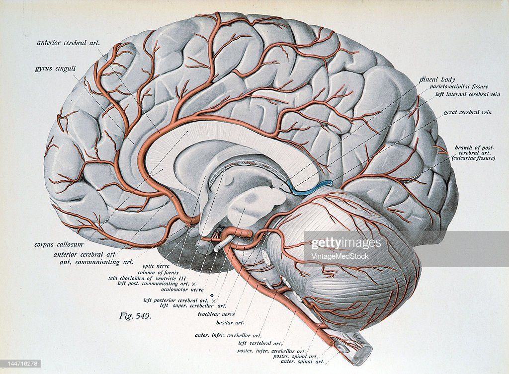 The Arteries Of The Cerebrum Cerebellum Pictures Getty Images