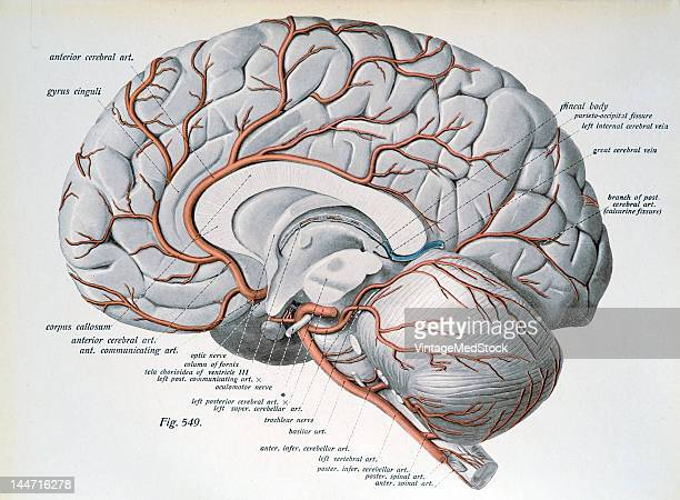 A medical illustration from 'Atlas and Textbook of Human Anatomy' shows the arteries of the mesial surface of the cerebrum and of the surface of the...