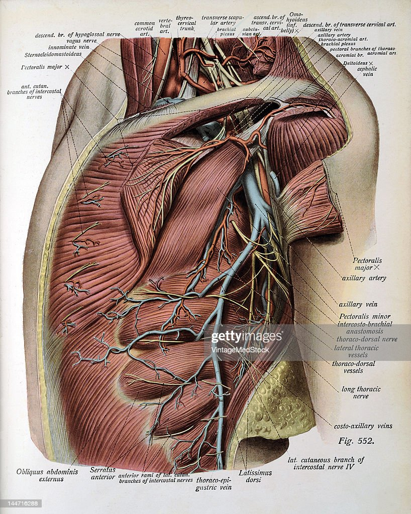 The Deeper Layer Of Vessels & Nerves Of The Axilla Pictures | Getty ...