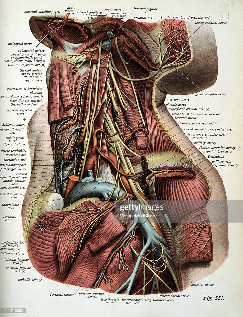 The Nerves & Arteries Of Deep Layers Of The Neck Pictures | Getty Images