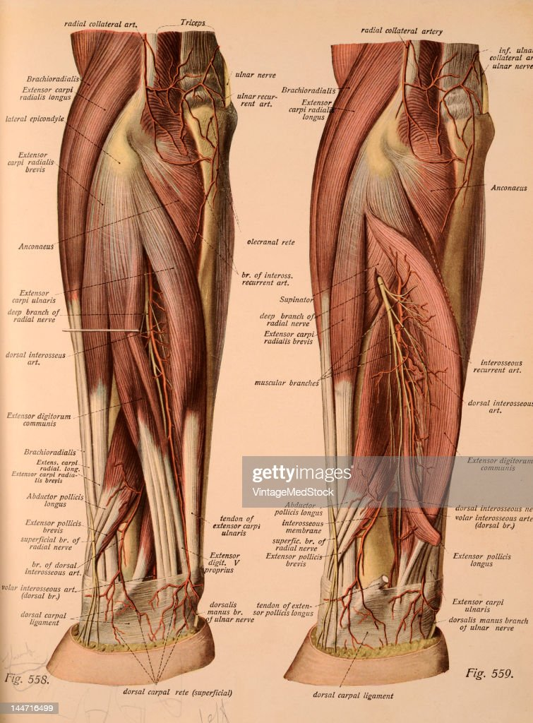 The Layers Of The Nerves & Vessels Of The Arm Pictures | Getty Images