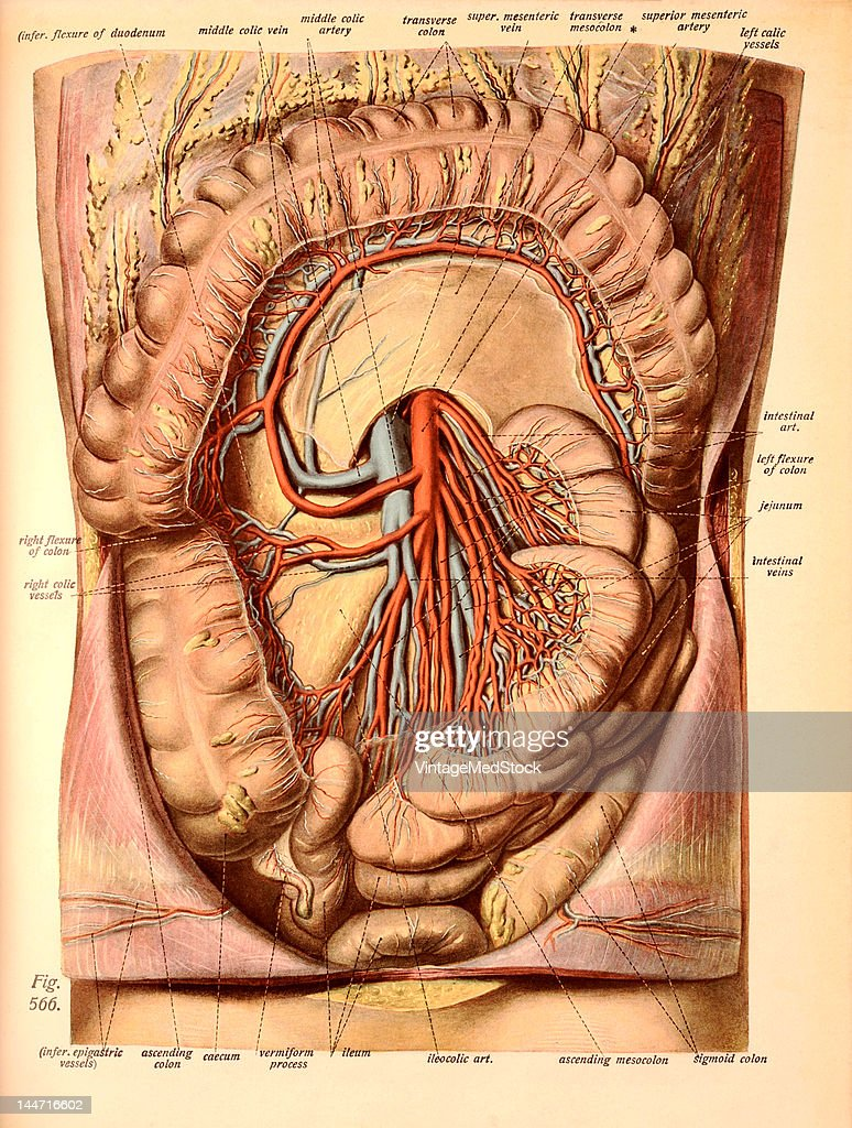 Mesentery Stock Photos And Pictures Getty Images