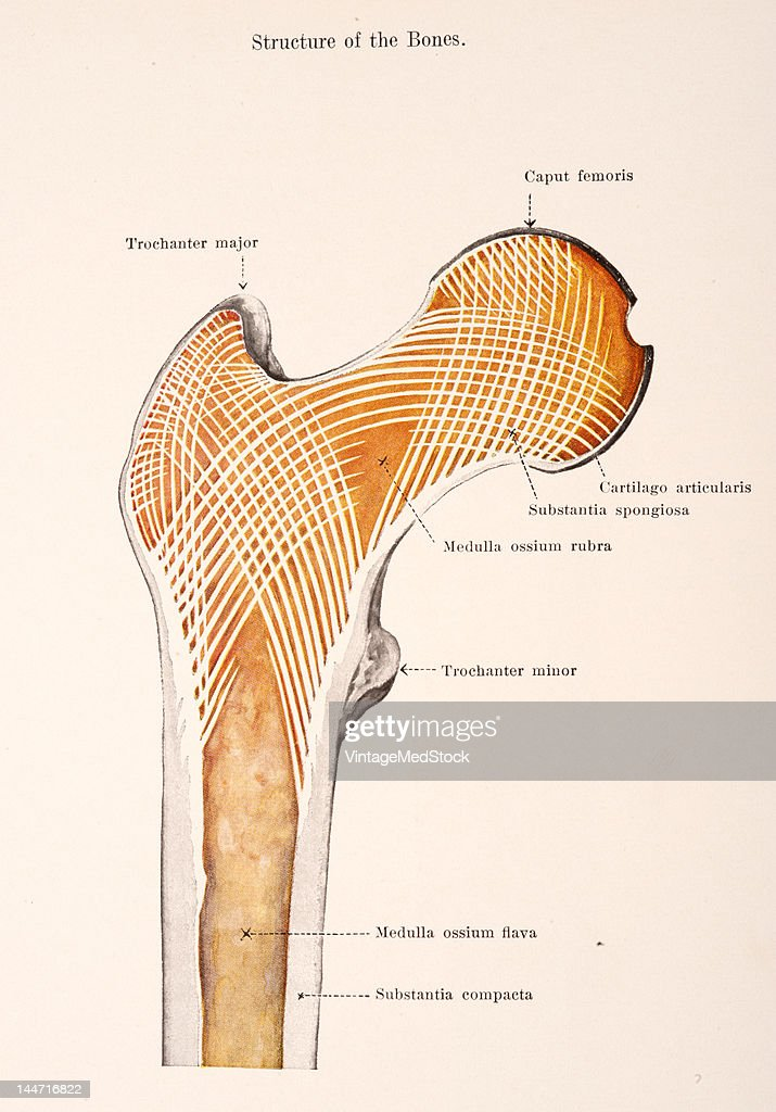 Proximal Part Of Right Femur Pictures | Getty Images