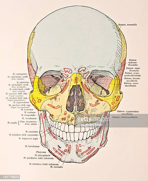 A medical illustration from 'HandAtlas of Human Anatomy volume 1' shows the skull from the front with muscular attachments 1923