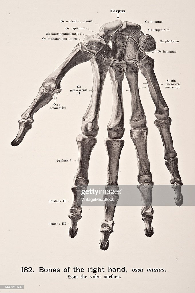 Bones Of The Right Hand Pictures | Getty Images