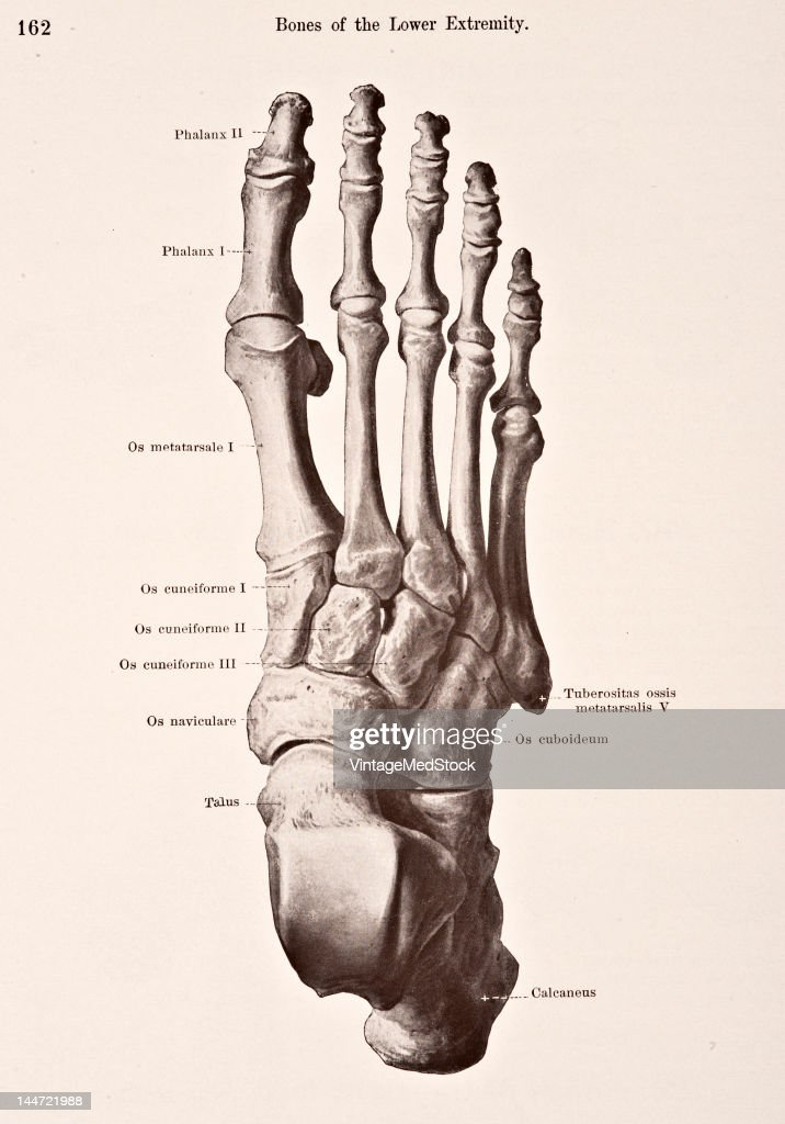 Bones Of The Right Foot II Pictures | Getty Images
