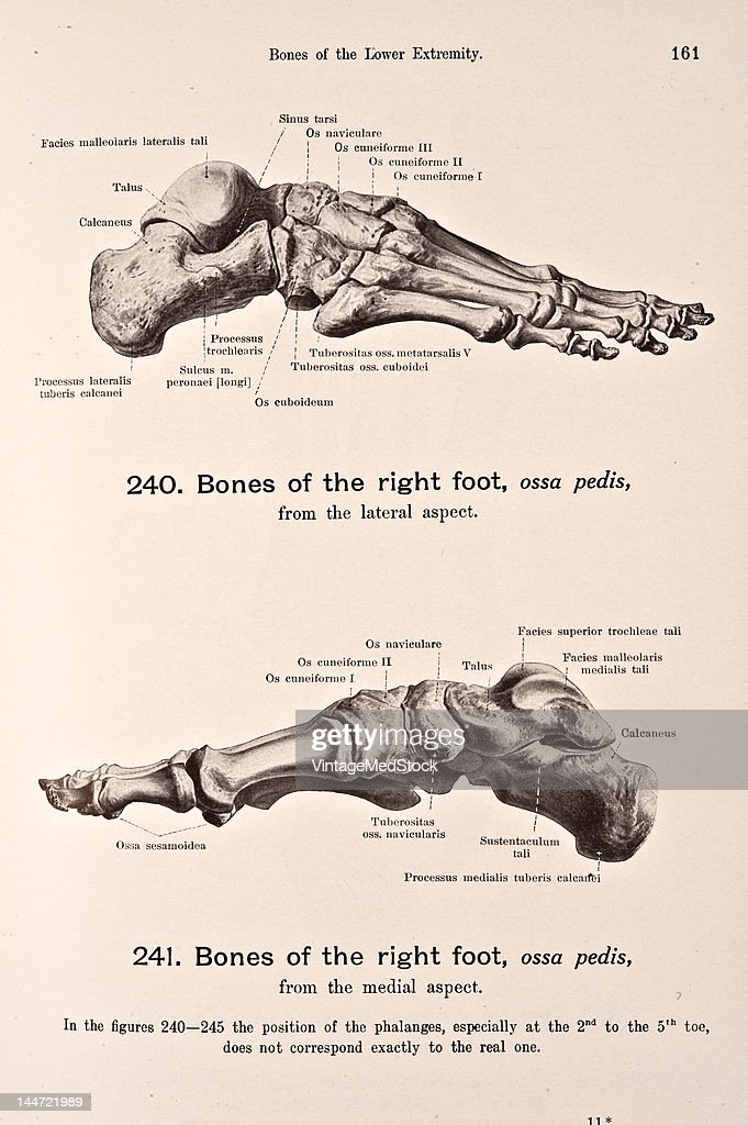 Bones Of The Right Foot Pictures | Getty Images