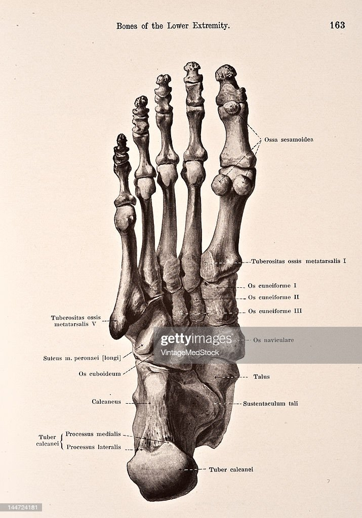 Bones Of The Right Foot III Pictures   Getty Images