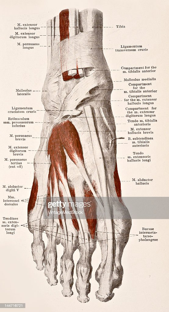 Muscles Of The Back Of The Right Foot Pictures | Getty Images