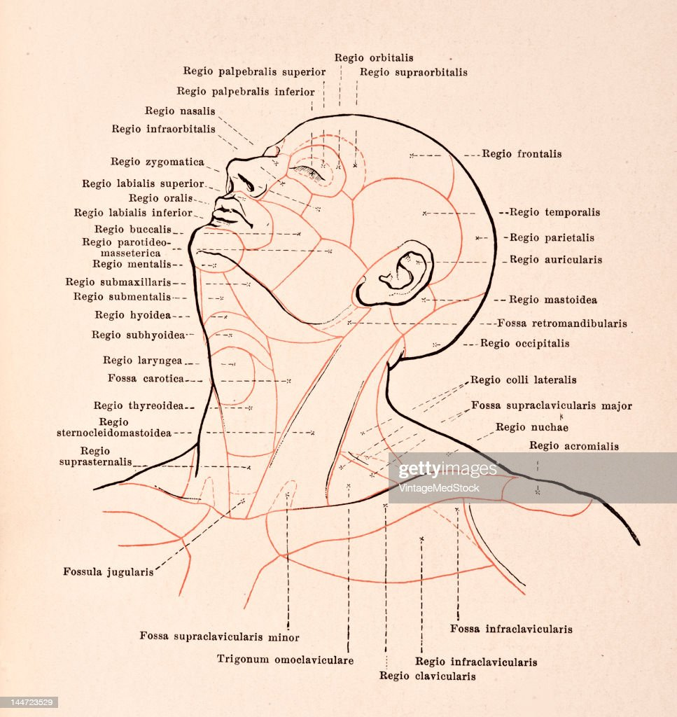 Regions Of The Head & Neck Pictures | Getty Images