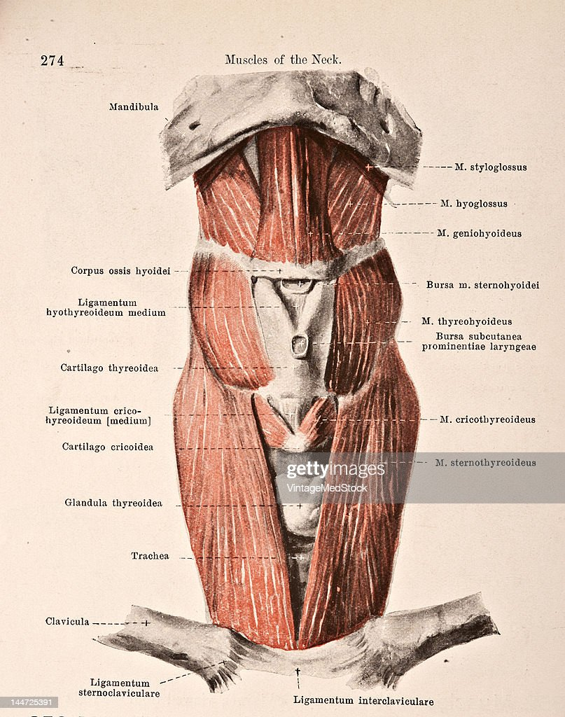 Muscles Of The Hyoid Bone Pictures | Getty Images
