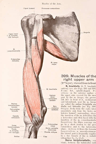 Muscles Of The Right Upper Arm Ii Pictures Getty Images