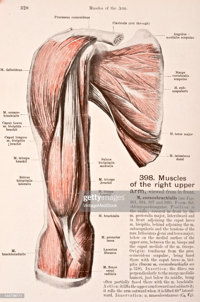 Muscles Of The Right Upper Arm Pictures | Getty Images