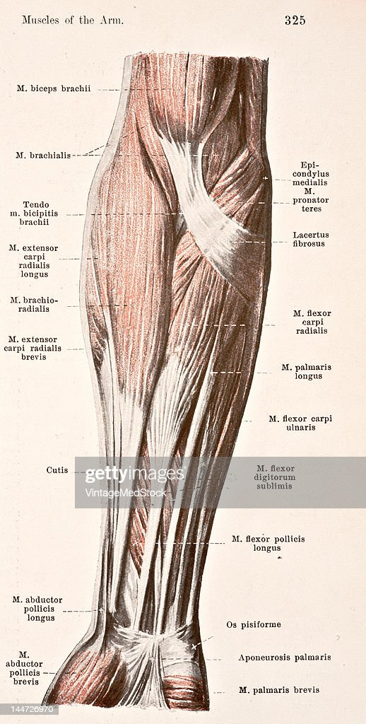 Muscles Of The Right Forearm : News Photo