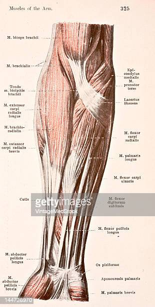 A medical illustration from 'HandAtlas of Human Anatomy volume 2' shows the muscles of the right forearm 1923
