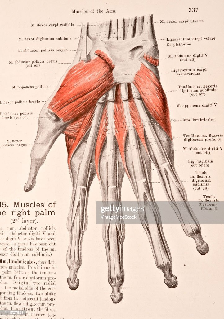 Muscles Of The Right Palm II Pictures | Getty Images