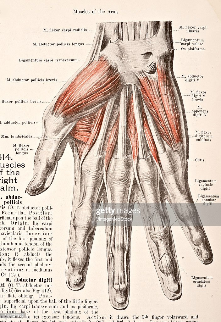 Muscles Of The Right Palm Pictures | Getty Images