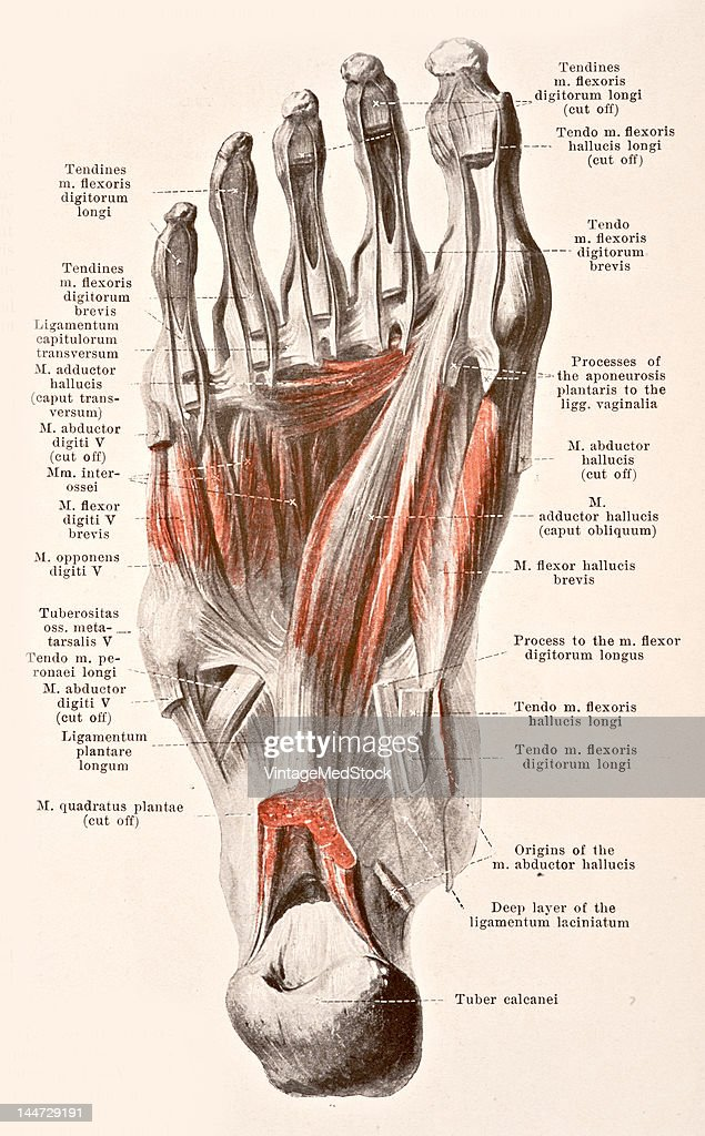 Muscles Of The Sole Of The Right Foot III Pictures | Getty Images