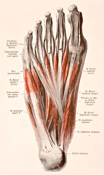 Muscles Of The Sole Of The Right Foot II Pictures | Getty Images