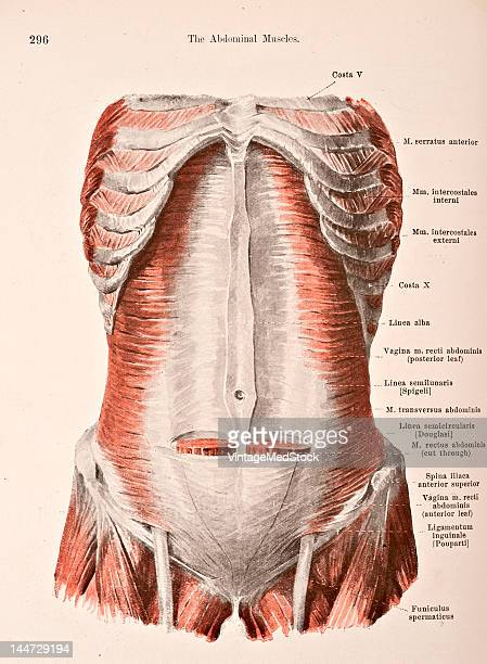A medical illustration from 'HandAtlas of Human Anatomy volume 2' shows the 3d layer of abdominal muscles 1923