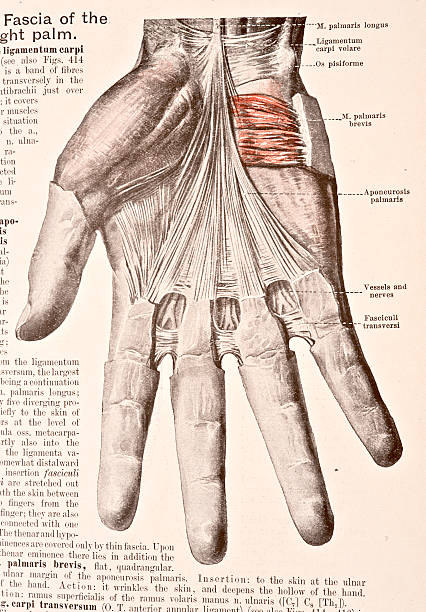 Fascia Of The Right Palm Pictures | Getty Images