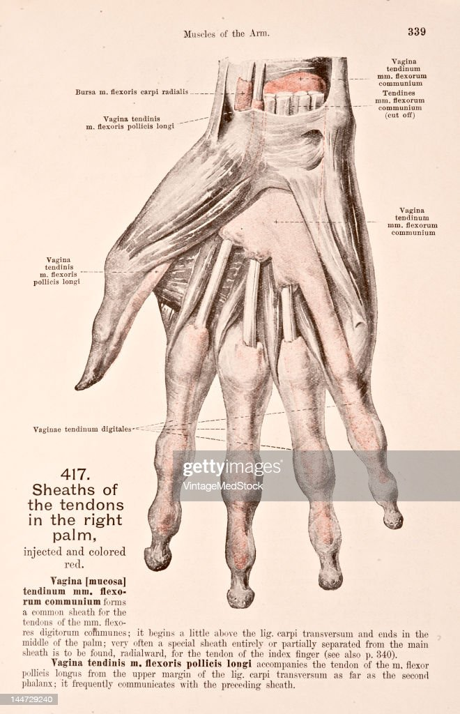 Sheaths Of The Tendons In The Right Palm Pictures | Getty Images