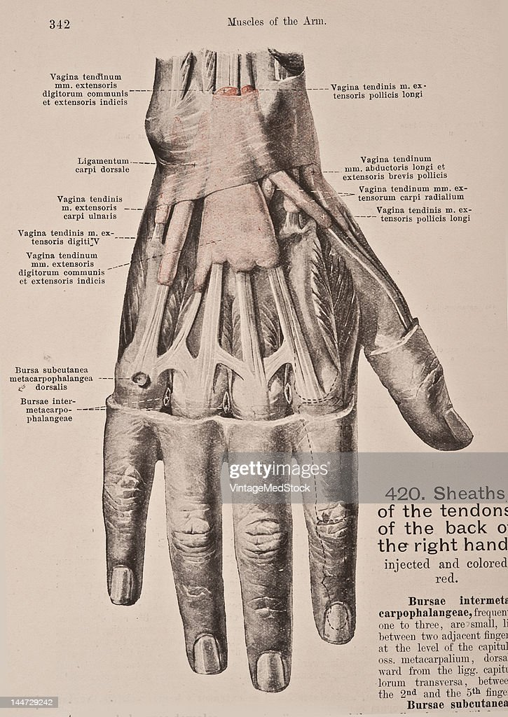 Sheaths Of The Tendons In The Right Hand Pictures | Getty Images