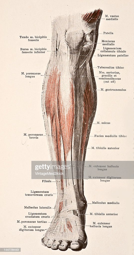 Muscles Of The Right Leg II Pictures | Getty Images
