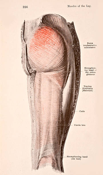 Fascia Of The Right Thigh Pictures Getty Images
