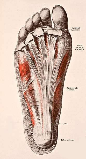 Fascia Of The Sole Of The Right Foot Pictures | Getty Images