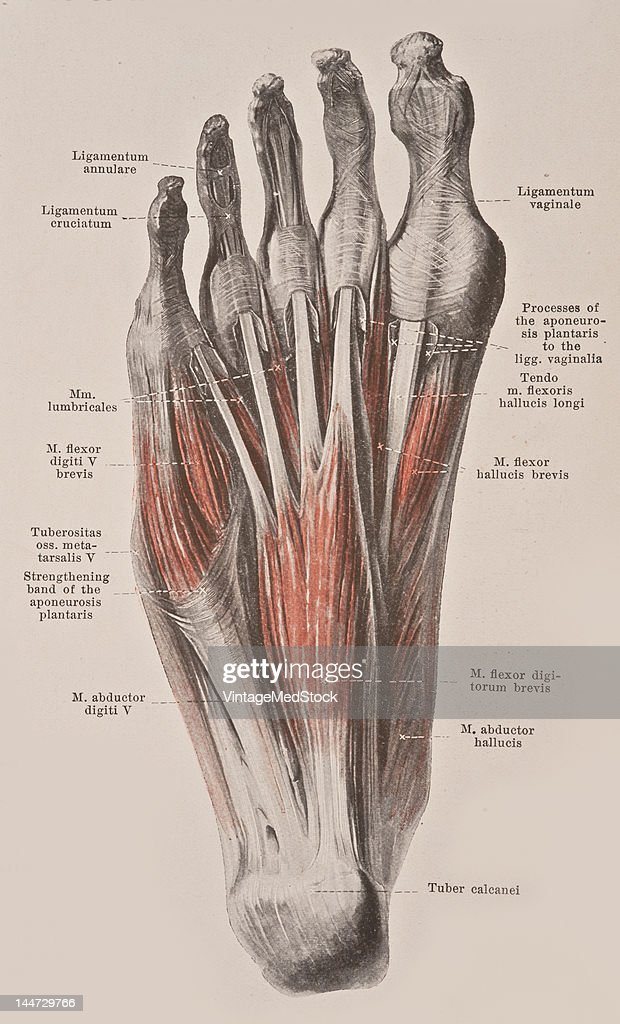 Muscles Of The Sole Of The Right Foot Pictures | Getty Images