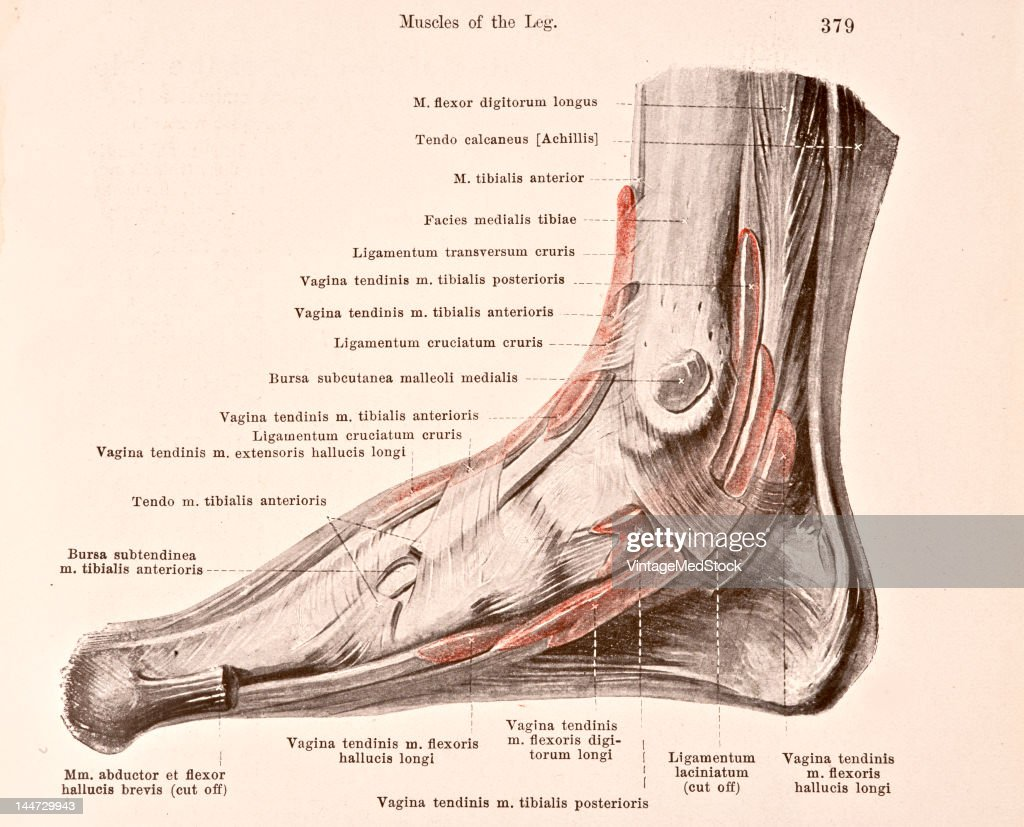 Bursae & Sheaths Of Tendons Of The Right Foot Pictures | Getty Images