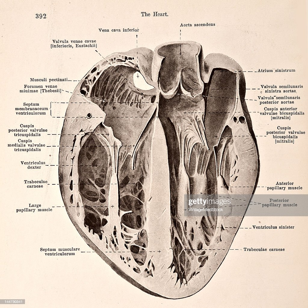 Transverse Section Through A Distended Heart Pictures   Getty Images