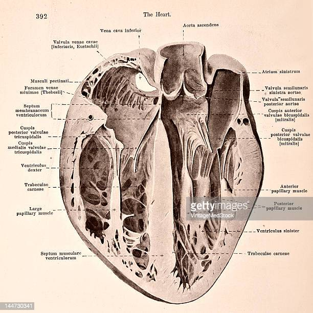 A medical illustration from 'HandAtlas of Human Anatomy volume 2' shows the transverse section through a distended heart 1923