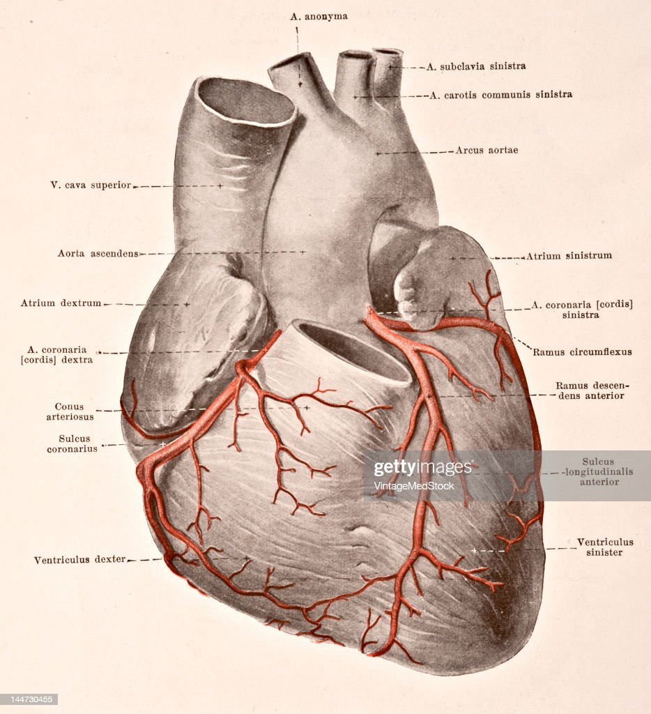 The Arteries Of The Heart Pictures Getty Images