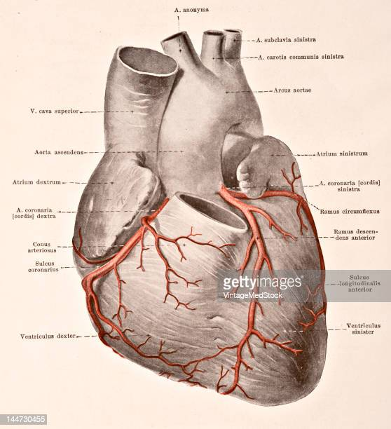 A medical illustration from 'HandAtlas of Human Anatomy volume 2' shows the arteries of the heart 1923