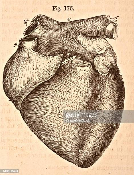 A medical illustration from 'Quain's Elements of Anatomy Eighth Edition VolII' depicts an anterior view of heart of a young subject 1876