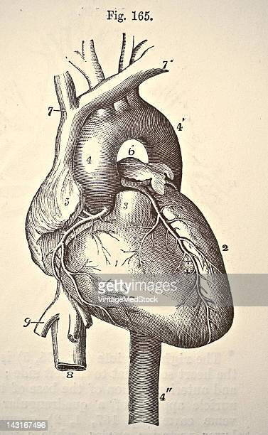 A medical illustration from 'Quain's Elements of Anatomy Eighth Edition VolII' depicts a view of the heart and great vessels 1876