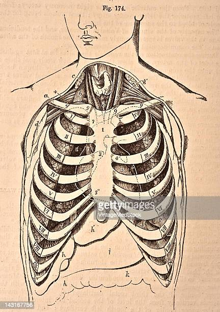 A medical illustration from 'Quain's Elements of Anatomy Eighth Edition VolII' depicts a semidiagrammatic representation of the chest to sow the...