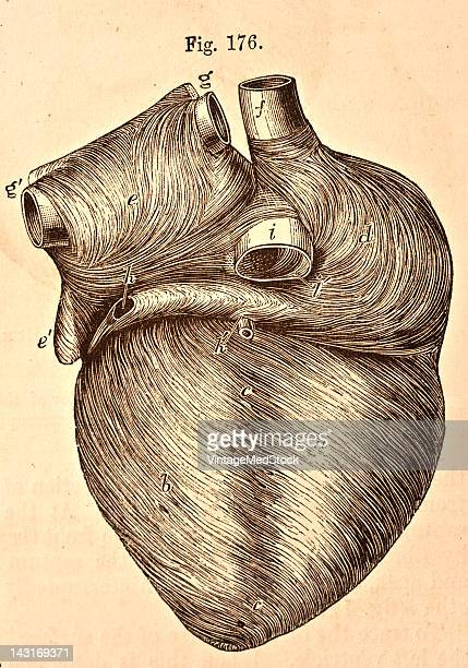 A medical illustration from 'Quain's Elements of Anatomy Eighth Edition VolII' depicts a posterior view of heart of a young subject 1876