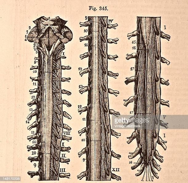 A medical illustration from 'Quain's Elements of Anatomy Eighth Edition VolII' depicts the medula oblongata and the spinal cord with its coverings...